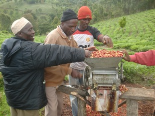 peeling the coffee fruits The coffee husk has great value in the compost
